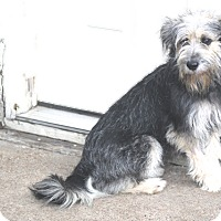 Adopt A Pet :: Brie - Norwalk, CT