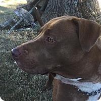 Adopt A Pet :: Tank - Acushnet, MA