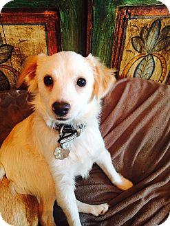 Spaniel (Unknown Type)/Chihuahua Mix Dog for adoption in Santa Monica, California - Malawi