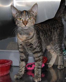 Domestic Shorthair Cat for adoption in Parsons, Kansas - Agatha