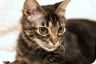 Domestic Longhair Kitten for adoption in Lincoln, California - Joshua