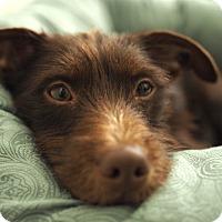 Adopt A Pet :: Pyramus - Frederick, MD