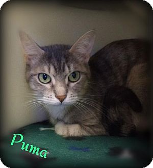 Domestic Shorthair Cat for adoption in Pekin, Illinois - Puma