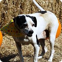 Rat Terrier Mix Dog for adoption in Simsbury, Connecticut - Sadie