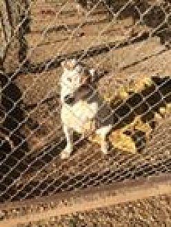 Labrador Retriever Mix Dog for adoption in Post, Texas - Cassie