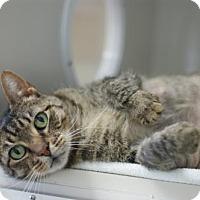 Domestic Shorthair Cat for adoption in Manteo, North Carolina - Bartleby