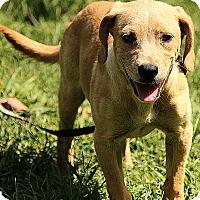 Adopt A Pet :: Cameron - Brattleboro, VT