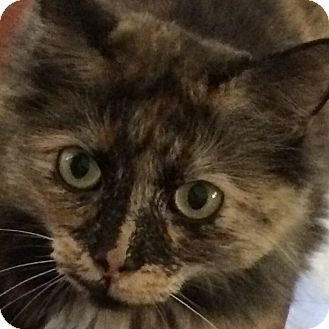 Domestic Mediumhair Cat for adoption in Brea, California - BAILEY