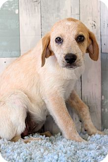 Labrador Retriever Mix Puppy for adoption in Waldorf, Maryland - Fifi