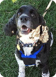 Cocker Spaniel Dog for adoption in Sacramento, California - Kooper=ADOPTION PENDING!