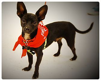 Chihuahua Puppy for adoption in Glendale, California - CHARLIE