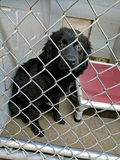 Labrador Retriever Mix Dog for adoption in Sandersville, Georgia - Jemma