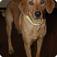 Vizsla Mix Dog for adoption in Hainesville, Illinois - Margo