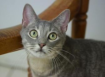 Domestic Shorthair Cat for adoption in DFW Metroplex, Texas - Babe