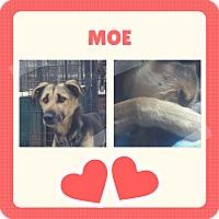 Adopt A Pet :: Moe - Jefferson, NH