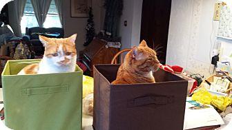 Scottish Fold Cat for adoption in Frewsburg, New York - Brody and Maxwell