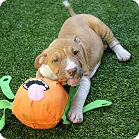 Adopt A Pet :: Patty - Ft. Lauderdale, FL