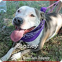 Pit Bull Terrier Mix Dog for adoption in Wichita Falls, Texas - Stoney