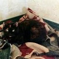 Domestic Shorthair Cat for adoption in Flintstone, Maryland - Didi