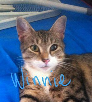 Domestic Shorthair Cat for adoption in New York, New York - Winnie