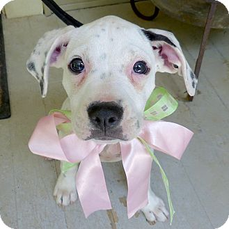 Boxer Mix Puppy for adoption in Baton Rouge, Louisiana - Winnie