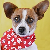 Chihuahua Mix Dog for adoption in Littlerock, California - Andy