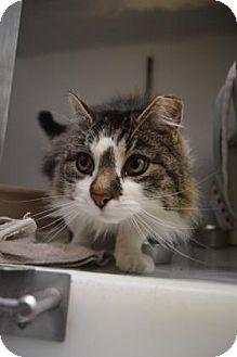 Domestic Longhair Cat for adoption in Buena Vista, Colorado - Todd