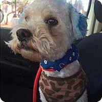 Adopt A Pet :: Snowball - Encino, CA