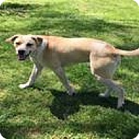 Adopt A Pet :: Thurman - Breinigsville, PA