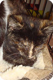 Domestic Shorthair Kitten for adoption in Brooklyn, New York - Chestnut