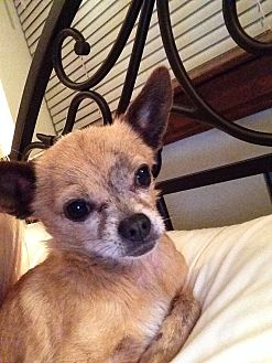 Chihuahua Dog for adoption in Ardmore, Oklahoma - Chico