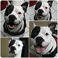 Adopt A Pet :: Chance - Forked River, NJ
