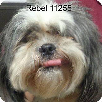 Shih Tzu Dog for adoption in Greencastle, North Carolina - Rebel