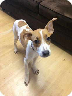 Basenji Mix Dog for adoption in Manchester, Connecticut - Spot in CT