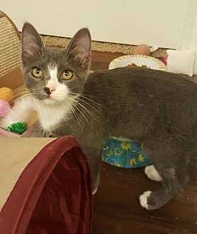 Domestic Shorthair Cat for adoption in Austin, Texas - Mary 3