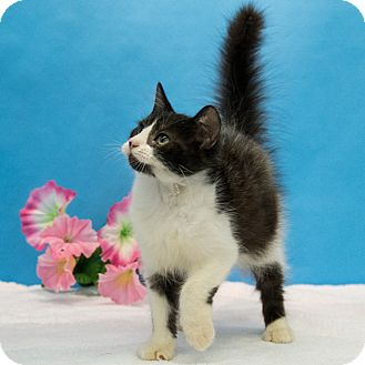 Domestic Mediumhair Kitten for adoption in Houston, Texas - Taquito