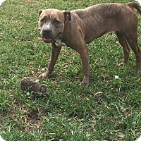 American Pit Bull Terrier Mix Dog for adoption in Davie, Florida - Destiny