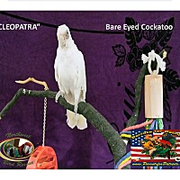 Adopt A Pet :: Cleopatra Bared Eye Cockatoo - Vancouver, WA