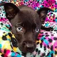 Adopt A Pet :: Cara - New York, NY