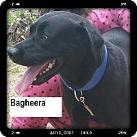 Adopt A Pet :: Bagheera - Manchester, NH