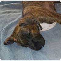 Boxer Mix Puppy for adoption in Fairfax Station, Virginia - Tyson A