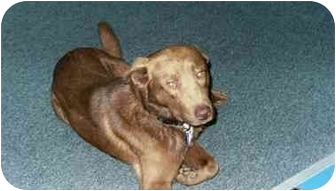 Labrador Retriever/Chesapeake Bay Retriever Mix Dog for adoption in Pasadena, California - Chestnut