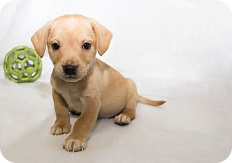 Terrier (Unknown Type, Medium) Mix Puppy for adoption in Cumberland, Maryland - Perry