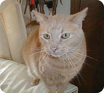 Domestic Shorthair Cat for adoption in Eldora, Iowa - Goober