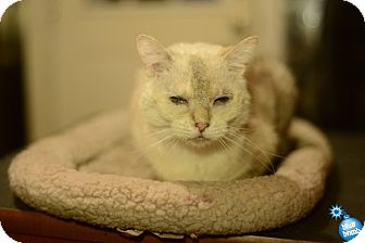 Siamese Cat for adoption in Baltimore, Maryland - Blanca