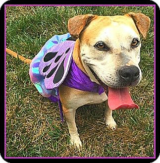 American Bulldog/Labrador Retriever Mix Dog for adoption in Arlington, Virginia - Princess Elsa