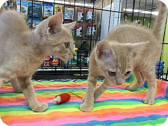Domestic Shorthair Kitten for adoption in Gilbert, Arizona - Chandler & Cooper