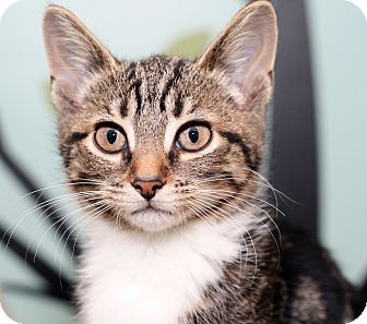 Domestic Shorthair Kitten for adoption in Royal Oak, Michigan - BUFFY