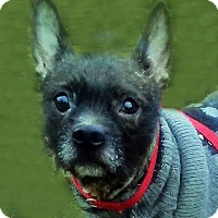 Adopt A Pet :: Midget - Newington, VA