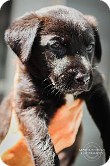 """Shepherd (Unknown Type)/Retriever (Unknown Type) Mix Puppy for adoption in Raleigh, North Carolina - Chips Ahoy (""""Chip"""")"""